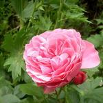 Rosa 'Léonard de Vinci'  - Roos - Rosa 'Léonard de Vinci'