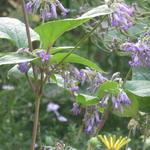 Clematis heracleifolia 'Cote d'Azur' - Bosrank - Clematis heracleifolia 'Cote d'Azur'