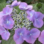Hortensia - Hydrangea macrophylla 'Mariesii Grandiflora'