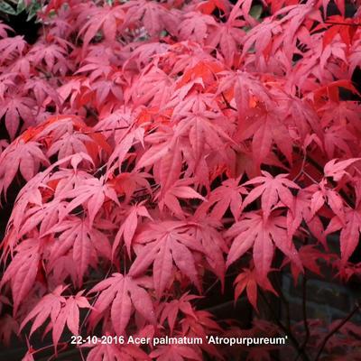 Acer palmatum 'Atropurpureum' -
