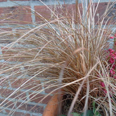 Carex comans 'Bronco' - Zegge - Carex comans 'Bronco'