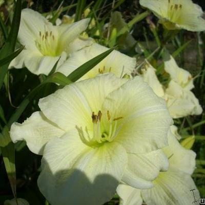 Hemerocallis (witte varieteiten) -