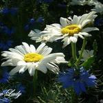Margriet - Leucanthemum x superbum 'Snow Lady'
