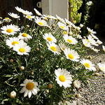 Mauranthemum paludosum  - Mauranthemum paludosum  - Dwergmargriet, Ganzebloemen