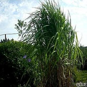 prachtriet olifantengras miscanthus x giganteus planten online kopen tuinadvies. Black Bedroom Furniture Sets. Home Design Ideas