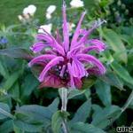 Monarda 'Violet Queen' - Bergamotplant - Monarda 'Violet Queen'