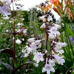 Penstemon digitalis  'Husker Red' - Slangekop