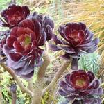 Aeonium arboreum var. atropurpureum 'Schwarzkopf' - Aeonium arboreum var. atropurpureum 'Schwarzkopf' - Vetplant