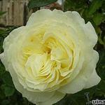 Rosa 'Elfe' - Roos, klimroos - Rosa 'Elfe'