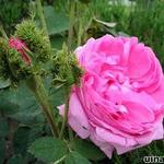 Rosa 'Crested Moss'  - Roos