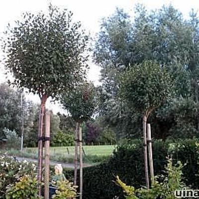 Prunus eminens 'Umbraculifera' -