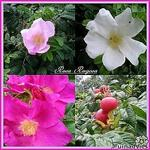 Rosa rugosa - Bottelroos