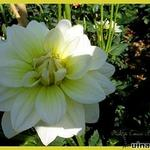 Dahlia 'Cream Beauty' - Dahlia