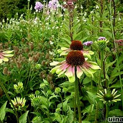 Echinacea p. 'Green Envy' - Rode zonnehoed