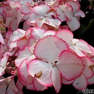 Hydrangea macrophylla 'Love You Kiss -