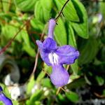 Streptocarpus - Streptocarpus - Kaapse primula / spiraalvrucht / draaivrucht