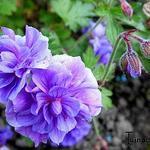 Ooievaarsbek - Geranium himalayense 'Plenum'