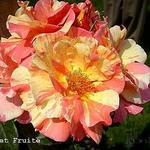 Rosa 'Sorbet Fruité' -