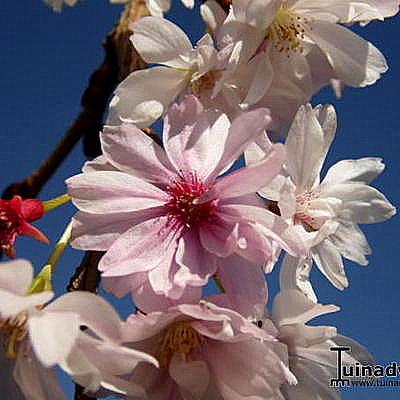 Prunus x subhirtella 'Autumnalis' -