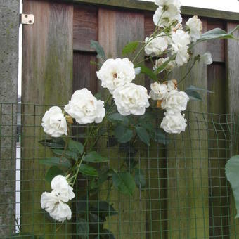 Rosa 'Colonial White'