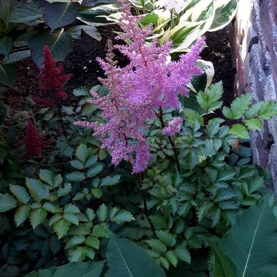 Astilbe  chinensis 'Heart and Soul' - Pluimspirea