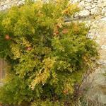 Punica granatum - Punica granatum - Granaatappel