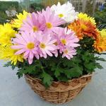 Chrysanthemum multiflora 'ROZANNE' - Chrysanthemum multiflora 'ROZANNE' - Herfstchrysanten