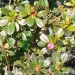 Rhododendron  'Anne Frank' - Rhododendron  'Anne Frank' - Azalea, tuinazalea