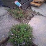 Satureja rumelica 'Purpurea'  - Satureja rumelica 'Purpurea'  - Bonenkruid