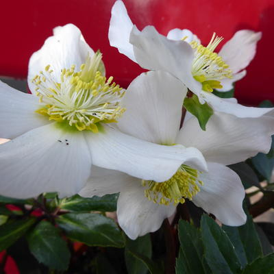 Helleborus x nigercors 'White Beauty' -