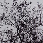 Alnus glutinosa - Alnus glutinosa - Zwarte els