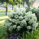 Hydrangea paniculata 'Bobo' - Hortensia - Hydrangea paniculata 'Bobo'