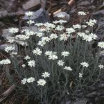 Achillea ageratifolia - Achillea ageratifolia - Grieks duizendblad