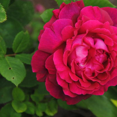 Rosa 'Alfred Colomb' - Roos