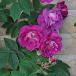 Rosa 'Amadis' - Roos, klimroos