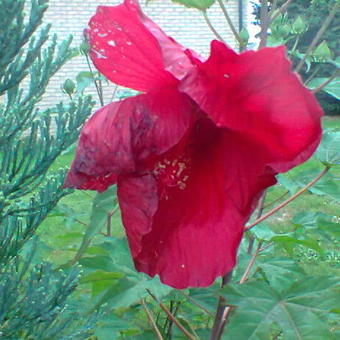 Hibiscus moscheutos 'EXTREME Oak Red'