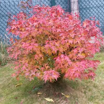 Acer palmatum 'Red Wine' -