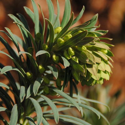 Euphorbia characias 'Shorty' - Wolfsmelk