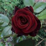 Rosa 'Black Magic'  - Roos, klimroos - Rosa 'Black Magic'