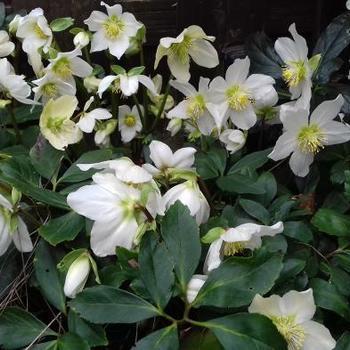 Kerstroos Helleborus Niger Vaste Planten Planten Online Kopen