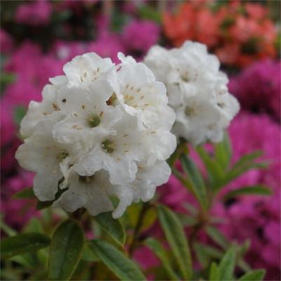 Rhododendron 'Arctic Tern' -
