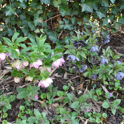 Helleborus orientalis 'Double Slaty Blue' -