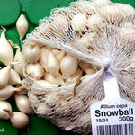 Allium cepa 'Snowball' - Ui
