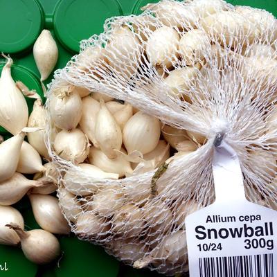 Allium cepa 'Snowball' -
