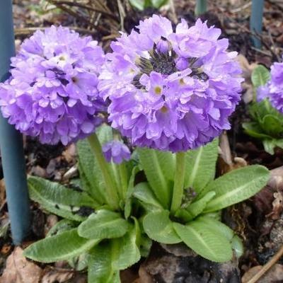 Primula denticulata - Sleutelbloem - Primula denticulata