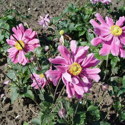 Anemone hupehensis 'Prinz Heinrich' -
