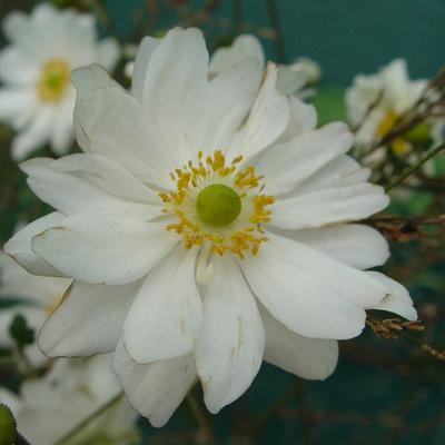 Anemone hybrida 'Whirlwind' - Herfstanemoon - Anemone hybrida 'Whirlwind'