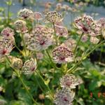 Zeeuws knoopje - Astrantia major