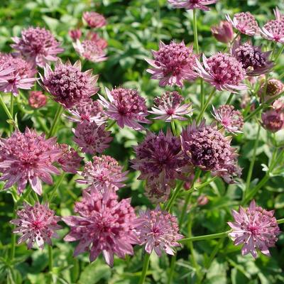 Astrantia major 'Roma' - Zeeuws knoopje