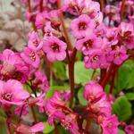 Bergenia cordifolia 'Eroica' - Schoenlappersplant - Bergenia cordifolia 'Eroica'